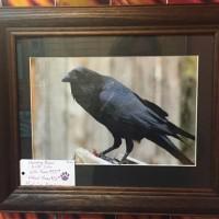 Raven Photograph